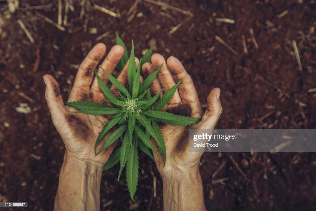 Hands holding a small cannabis plant : ストックフォト