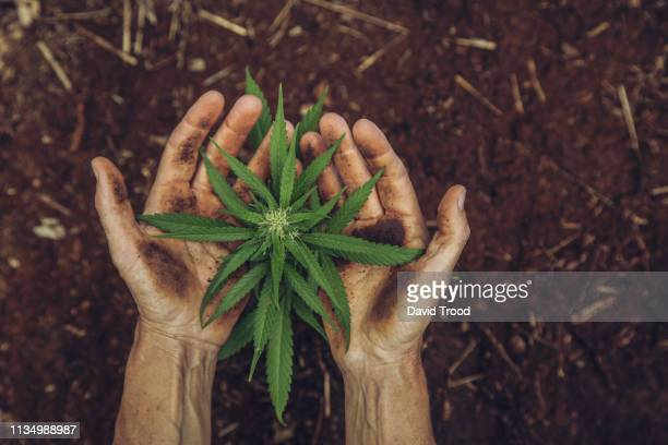 hands holding a small cannabis plant - 麻 ストックフォトと画像