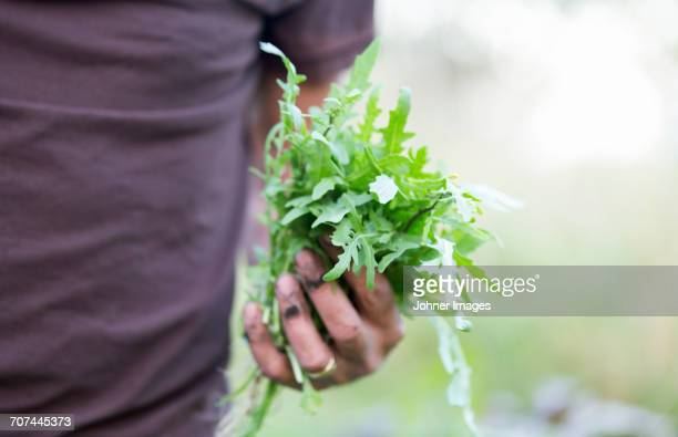 hands holding arugola - arugula stock pictures, royalty-free photos & images