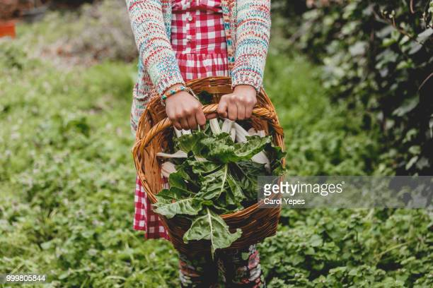 hands  holding basket with fresh green  vegetables - fall harvest stock pictures, royalty-free photos & images