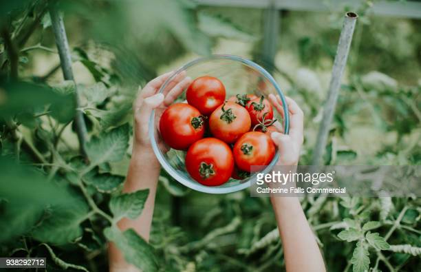 hands holding bowl of tomatoes - cultivated stock pictures, royalty-free photos & images