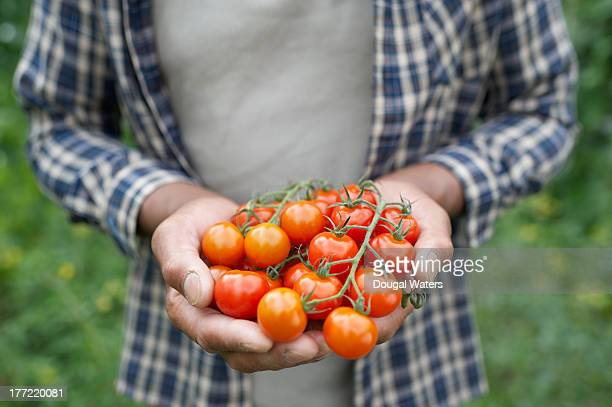 Hands holding bunch of tomatoes.