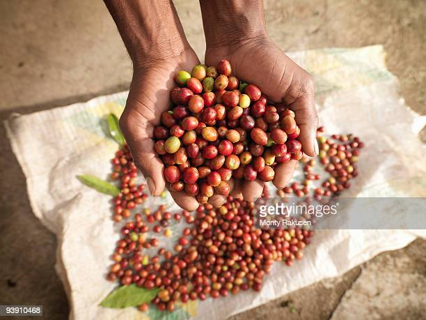 hands holding coffee beans - café colheita imagens e fotografias de stock