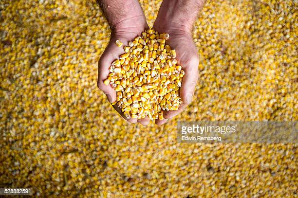 Hands holding corn