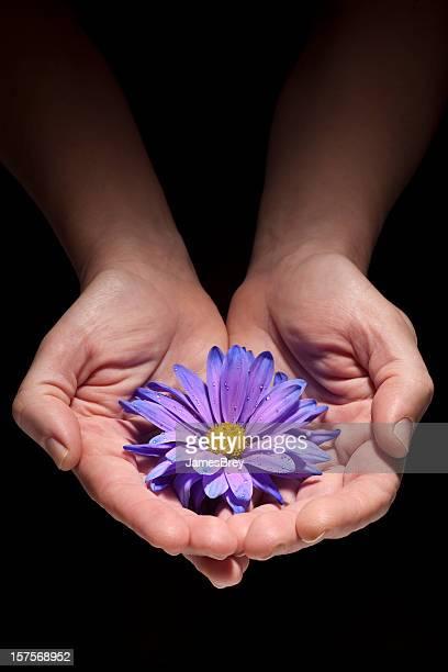 Hands Holding Delicate Wet Purple Blue Daisy Flower, Black Background