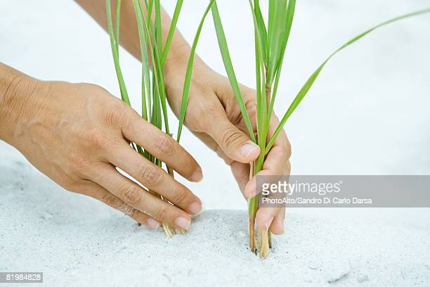 Hands holding dune grass growing in sand, close-up
