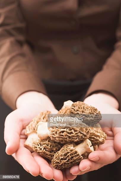 hands holding fresh morels - morel mushroom stock pictures, royalty-free photos & images