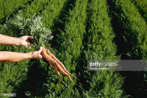 hands holding fresh picked carrots; rows behind - timothy hearsum stock-fotos und bilder