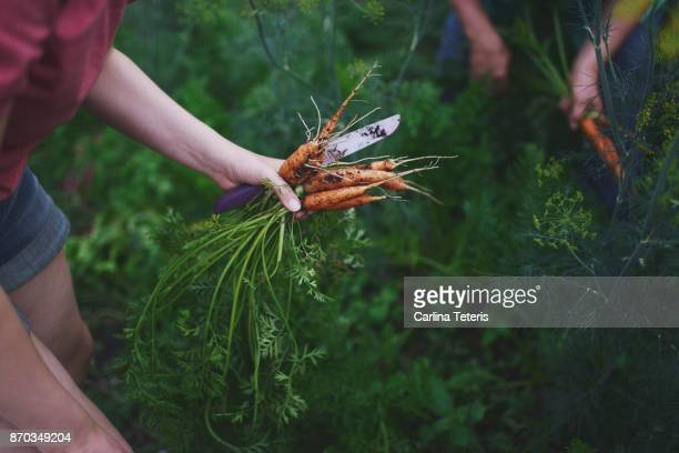 hands holding freshly picked home grown carrots