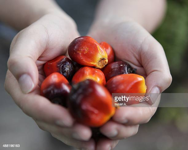 Hands holding freshly picked oil palm fruits.