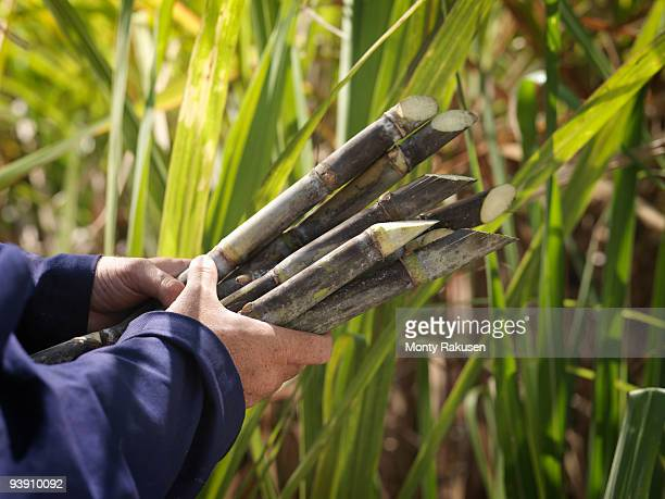 hands holding harvested sugar cane - sugar cane stock pictures, royalty-free photos & images