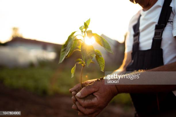 hands holding new growth plant in sunset - flora foto e immagini stock