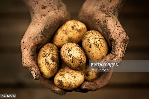 Hands holding potatoes, studio shot