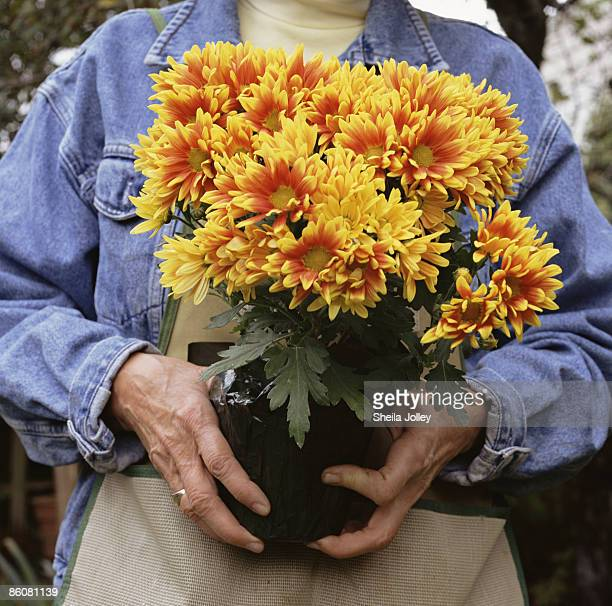 Hands holding potted chrysanthemum flowers
