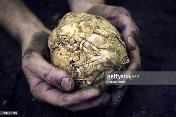 Hands holding root vegetable