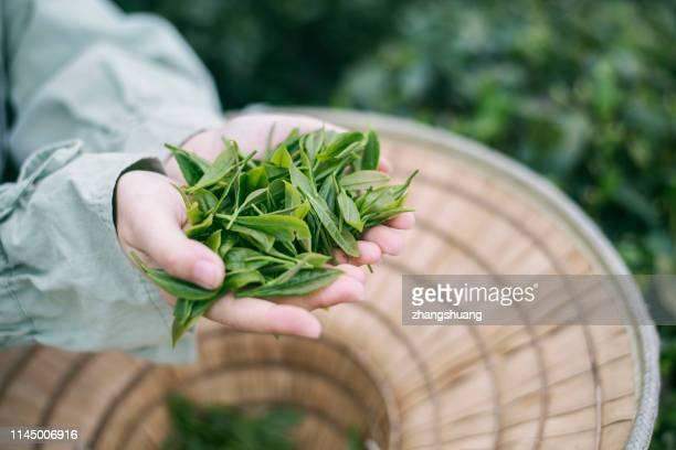 hands holding tea leaves, hangzhou, china - hoja te verde fotografías e imágenes de stock