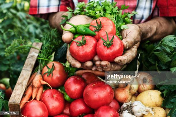 hands holding tomato harvest-close up - freshness stock pictures, royalty-free photos & images
