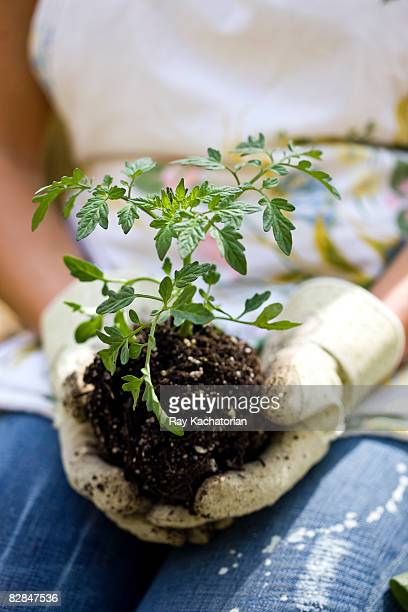 hands holding tomato plant - potting stock pictures, royalty-free photos & images