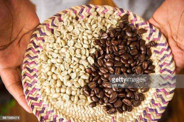 Hands holding unroasted green coffee beans and brown roasted beans