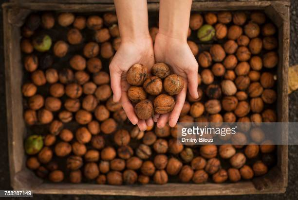 hands holding walnuts over box - hazelnuts stock pictures, royalty-free photos & images