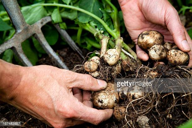 Hands lifting new potatoes with roots and dirt