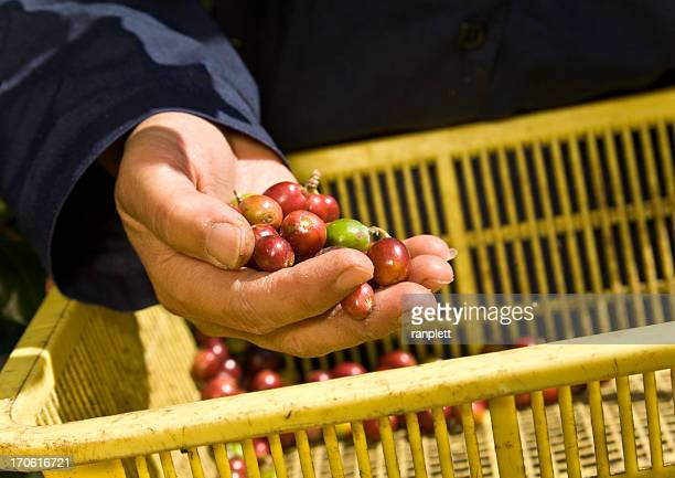 Hands of a Coffee Farmer