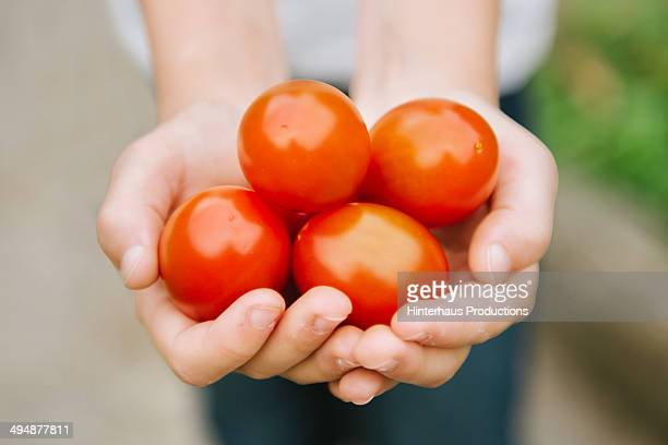 Hands Of A Girl With Fresh Tomatoes