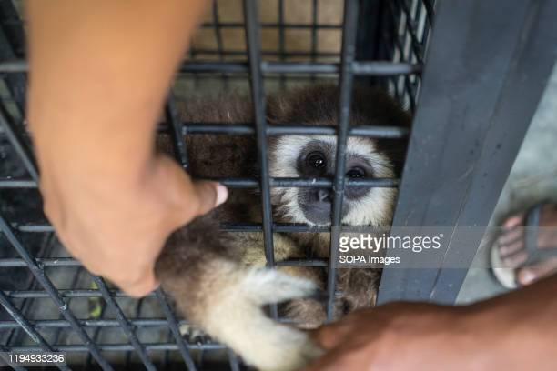 Hands of a person touch the white-handed gibbon endangered primate in cage after being handed over by a resident to the Natural Resource Conservation...