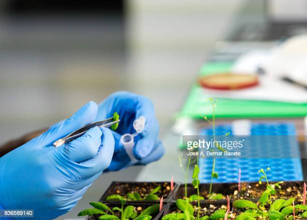 Hands of a scientific investigator in a laboratory of molecular biology realizing works of extraction of DNA in plants. Spain.