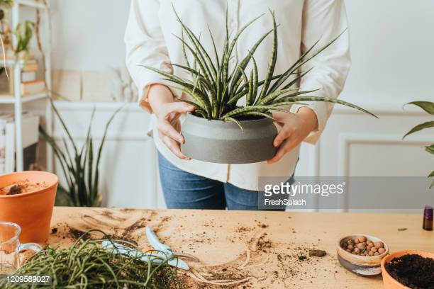 hands of an anonymous plus size caucasian  woman holding a house plant - green thumb stock pictures, royalty-free photos & images