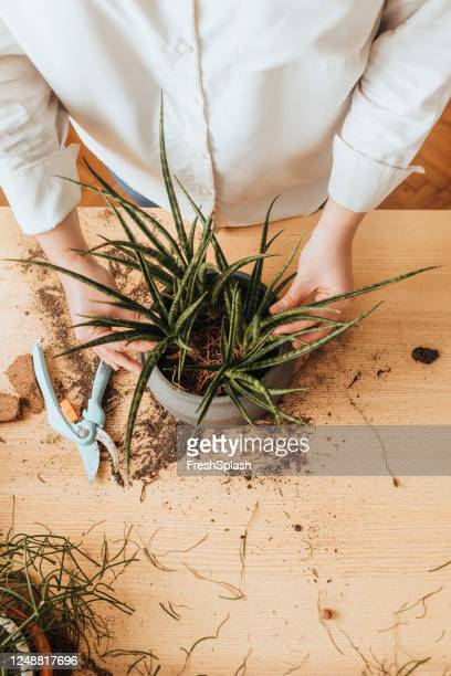 hands of an anonymous woman taking care of house plants, a close up - green thumb stock pictures, royalty-free photos & images