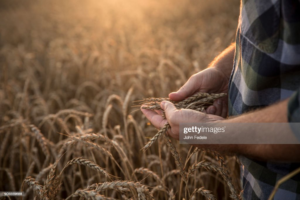 Hands of Caucasian man examining wheat in field : Stock Photo