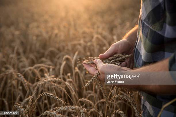 hands of caucasian man examining wheat in field - gewas stockfoto's en -beelden