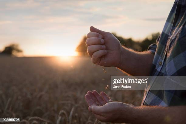 Hands of Caucasian man examining wheat in field