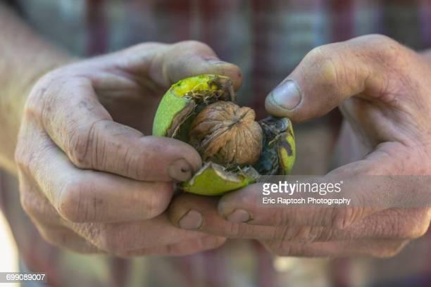 Hands of Caucasian man opening walnut