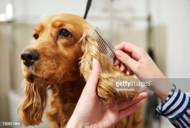 hands of female groomer combing cocker spaniels ear at dog grooming salon - penteando imagens e fotografias de stock