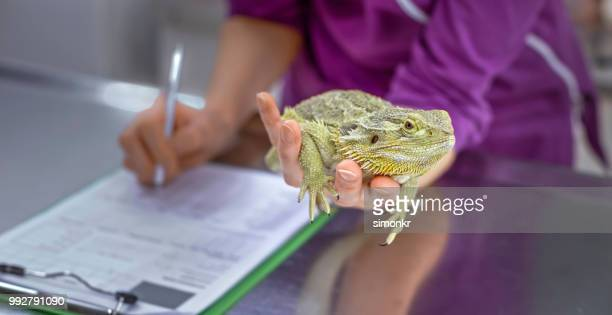 hands of female vet holding bearded dragon in one hand while making notes with other - exotic pets stock pictures, royalty-free photos & images