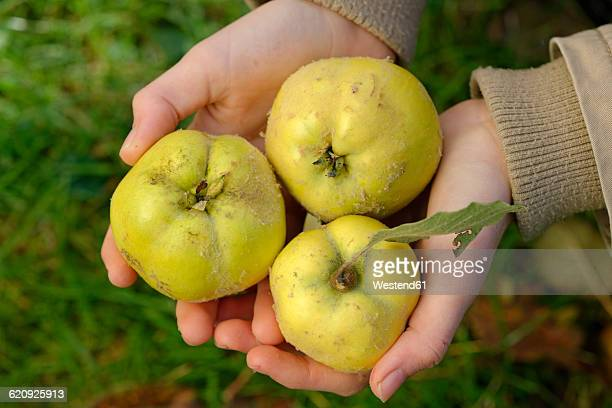 Hands of girl holding three quinces