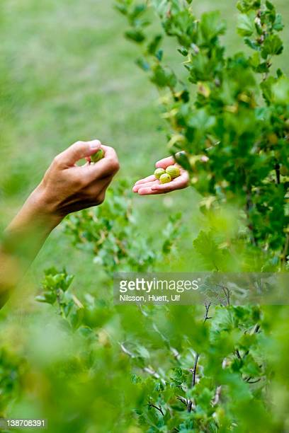 Hands of mother and daughter picking gooseberries, close-up