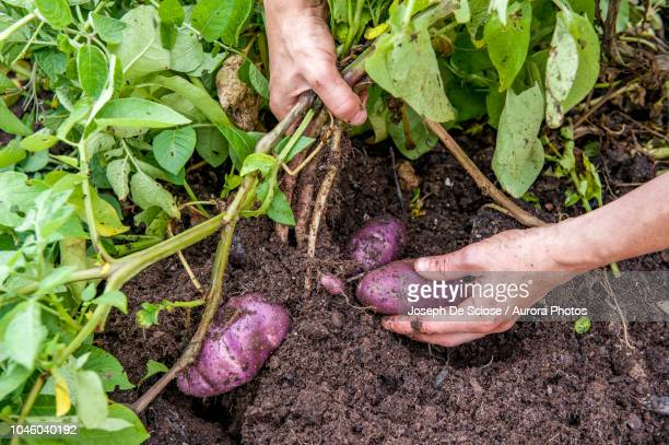 hands of person pulling back leaves and digging out potatoes, halifax, nova¬ýscotia, canada - root vegetable stock pictures, royalty-free photos & images