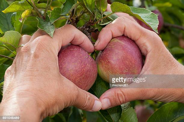 Hands of senior woman shaping heart around two apples on a tree