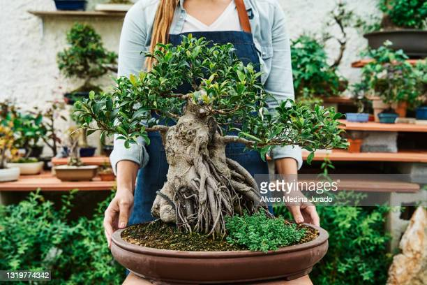 hands of unrecognizable woman holding a pot with a bonsai tree in a garden nursery. - 盆栽 ストックフォトと画像