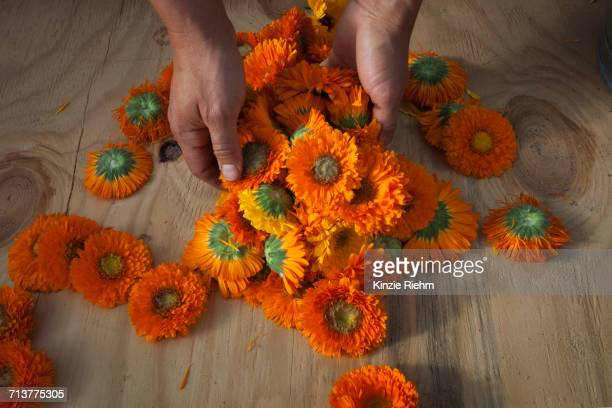 Hands of young woman with handful of calendula (calendula officinalis) flower heads