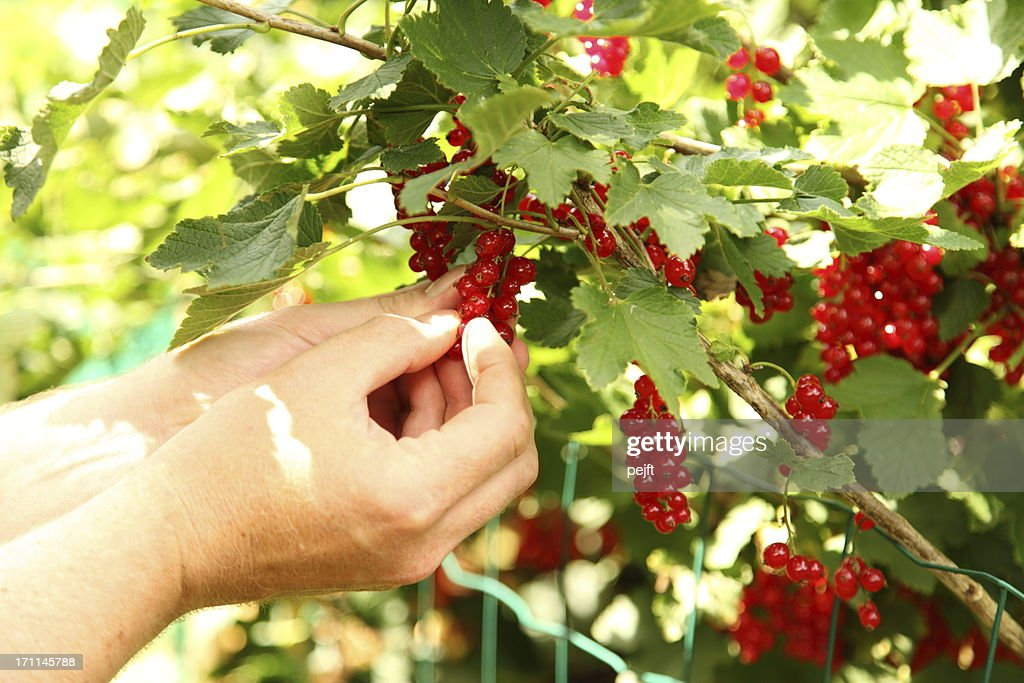 Hands picking ecological red currant berries. : Stock Photo