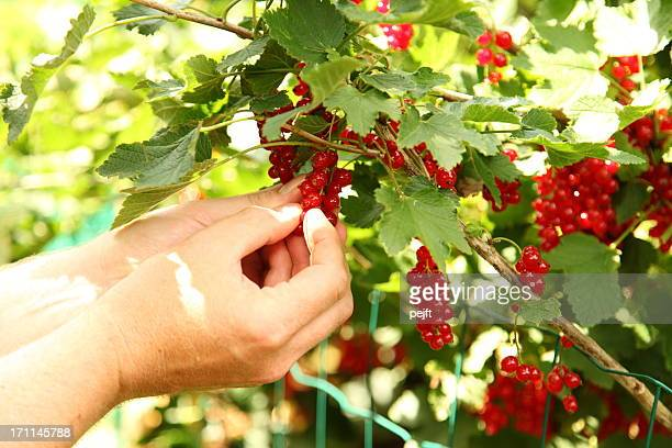 Hands picking ecological red currant berries.