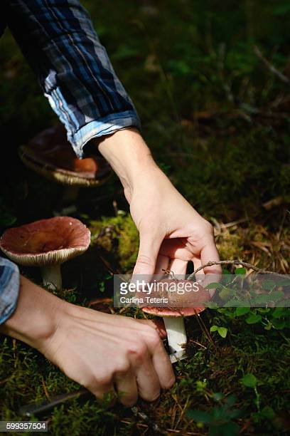 Hands picking wild mushrooms from the forest floor