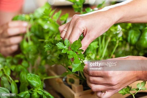 hands plucking leaves from herbs - peterselie stockfoto's en -beelden