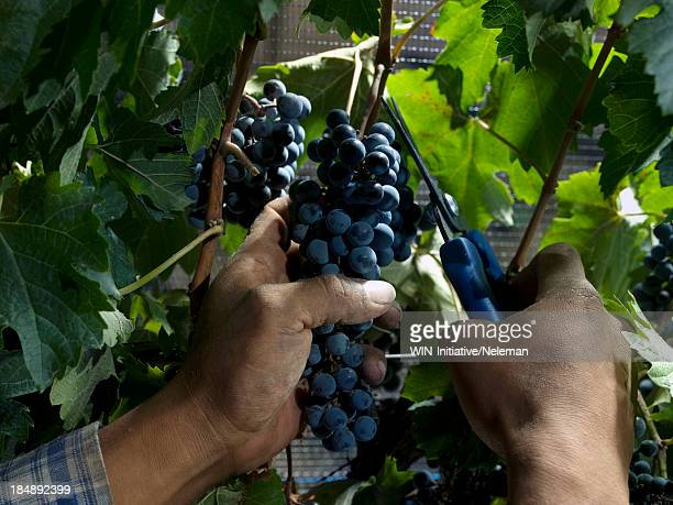 Hands pruning a grapevine with clippers