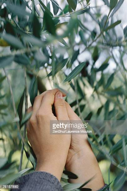 Hands pulling olives from tree, close-up