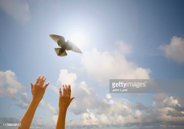 hands releasing a white dove - releasing stock photos and pictures